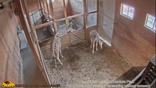 Giraffe Cam - Animal Adventure Park thumbnail