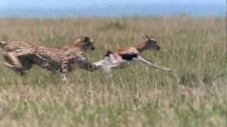 Cheetah - Fastest Running Animal - 1080 HD