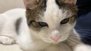 お父さんと寝っ転がる猫がかわいい   Cute cat sleeping with dad.