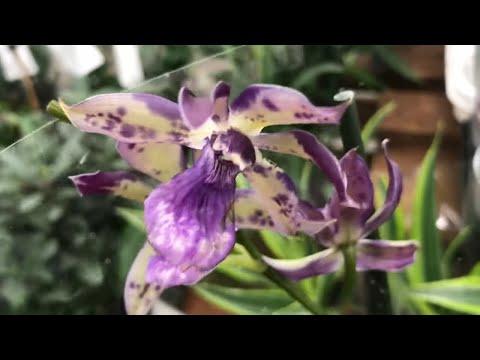 Орхидеи и другие Цветы в магазине Ашан! Зигопеталум. Есть уценка.