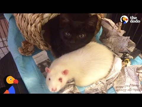 Rats Take Care of Rescue Kittens | The Dodo