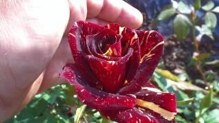 La rosa abracadabra y más rosales abril 2011.