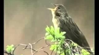 Singender Feldschwirl