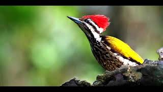 HD Audio Masteran Murai Batu Cucak Ijo Suara Burung Pelatuk Bawang