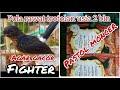 Cara Rawat Trotolan Usia  Bulan Trotol Gacor Fighter Pastol Juara  Mp3 - Mp4 Download