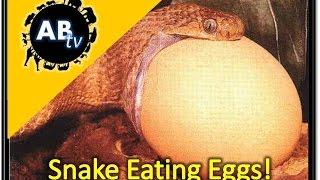 Snakes Eating Eggs! The Python Hunter : AnimalBytesTV