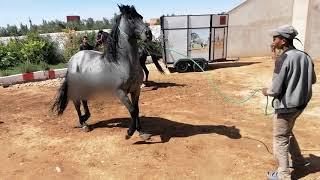 Mating Horses Arabian تزاوج الخيول العربية من اسطبلات الخيول ضيعة جوادي سامي