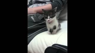 子猫「寝ないも……パパと寝る」 thumbnail