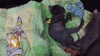 Cute Sphynx baby.