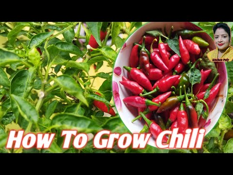 How To Grow Chili ….ll How To Grow Chili At Home..ll Tarrace Gardening At Home..ll