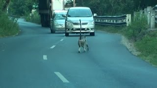 A Nilgiri Grey Langur stopped the vehicle traffic at Sathyamangalam Tiger Reserve Forest