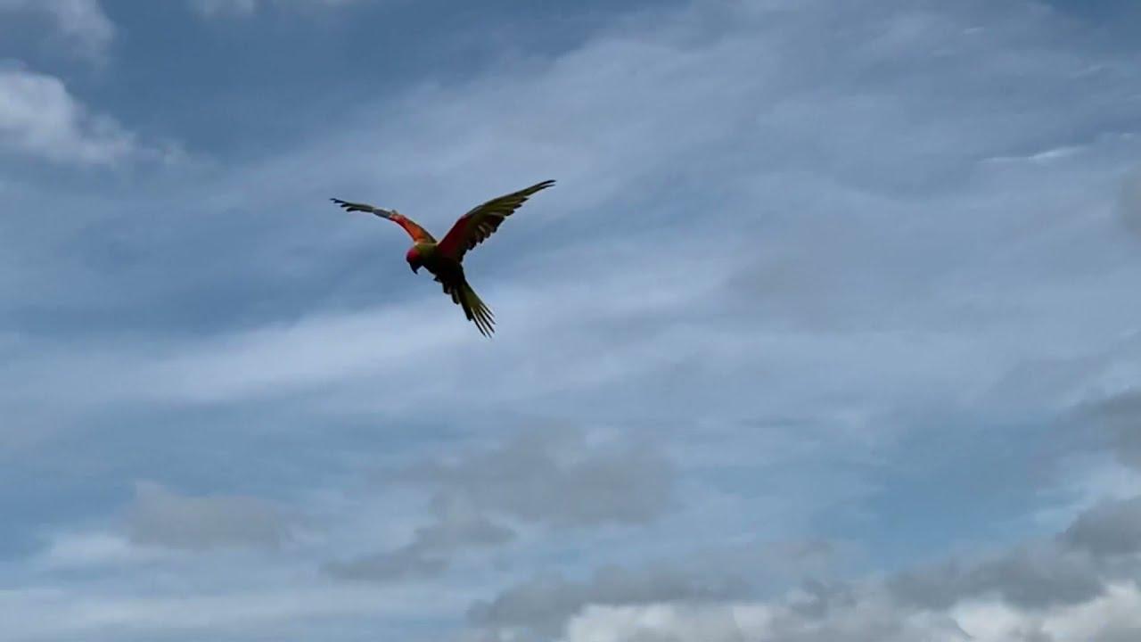 Disfrutando con nuestros guacamayos volando libres