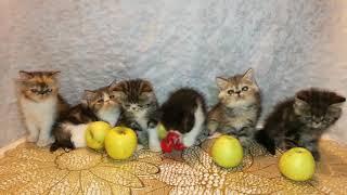 Котята экзотические д.р.14.09.17г