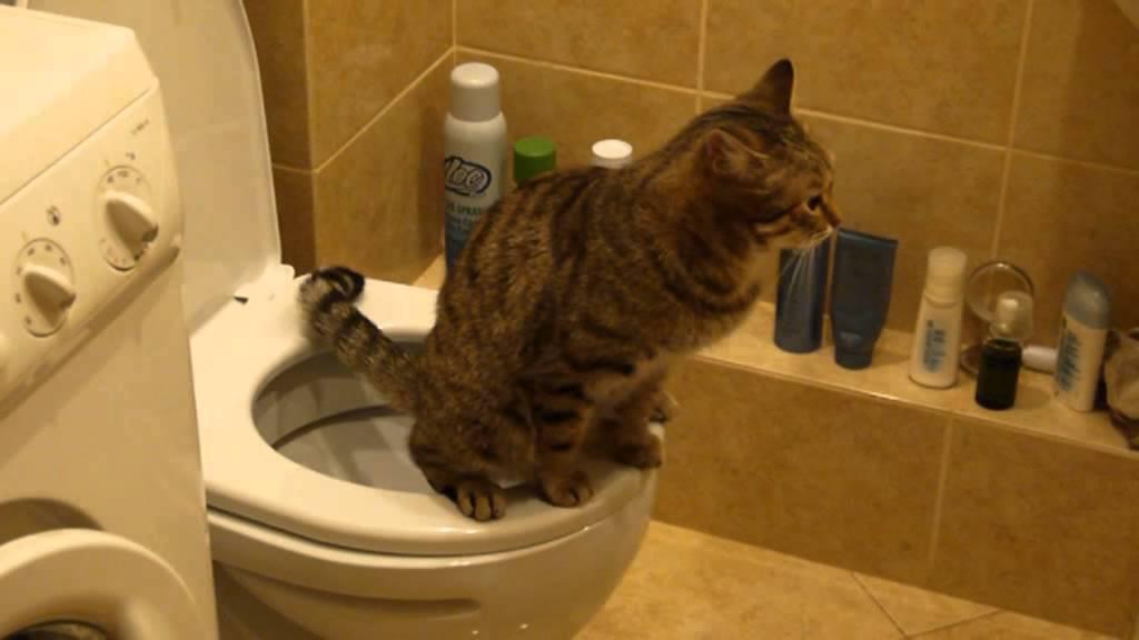 Видео какающий кот