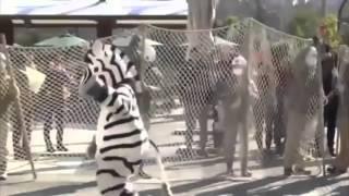 Funny Zebra Escape Drill in Japanese Zoo!!