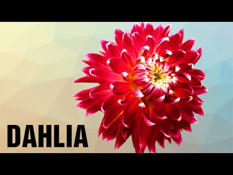 How To Pronounce Dahlia Pronunciation In Hindi Flowers Hd Lehren Kids Youtube