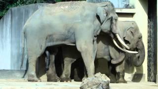 神戸市立王子動物園・アジアゾウ、ムスト前のマック。