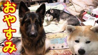 シベリアンハスキー犬 クッキー老犬ですが 寝る場所は中々譲りませんね ...