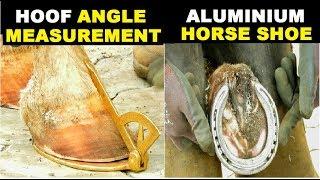 HORSE HOOF CARE AND ANGLE MEASUREMENT | MARWARI HORSE