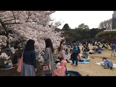 Tokyo Sakura at 100% Bloom in Shinjuku