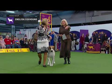 English Foxhounds | Breed Judging 2019