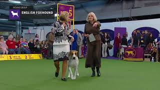 English Foxhounds | Breed Judging 2019.