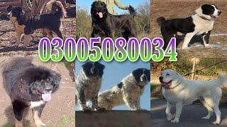 #TibetanMastiff #kangal #Askal alabai, Afghan Kochi dogs 03005080034