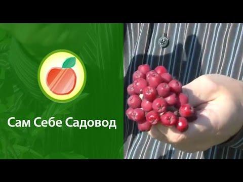 Купить саженцы черноплодной рябины в плодово-декоративном питомнике slavusadba.