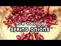 How To Grow Spring Onions / Scallions
