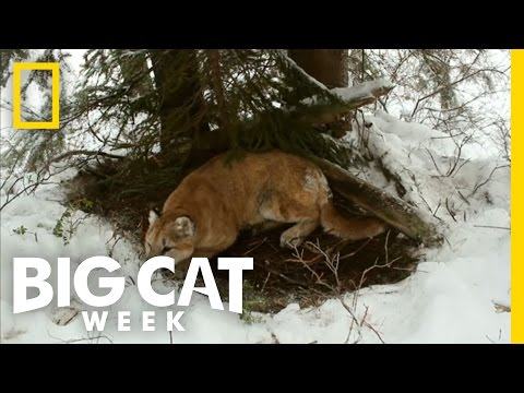 Top 3: Cougar Facts | Big Cat Week