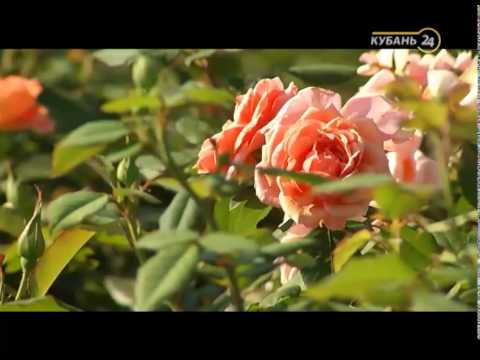Сельские истории с Сергеем Курочкиным. Розы