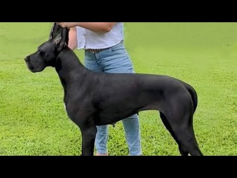 Best of Great Danes | Funny Compilation Video!