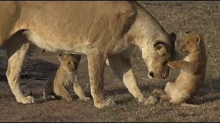 SafariLive Oct 02 - Very cute Mara lion cubs!
