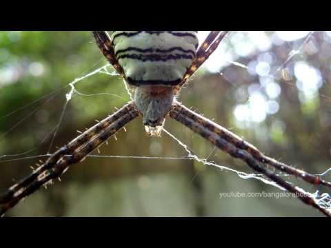 Spider Meditation - Argiope aemula - Oval St. Andrew's Cross Spider