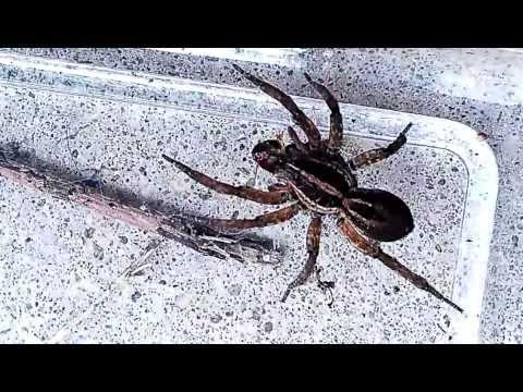 Feeding the wolf spider-Tigrosa annexa