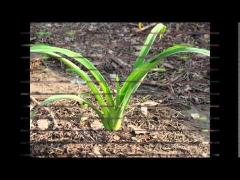 Душистый горошек — одно из наиболее красивых и любимых в мире. Монах собрал семена и переправил их в 1699 году в англию, своему другу.