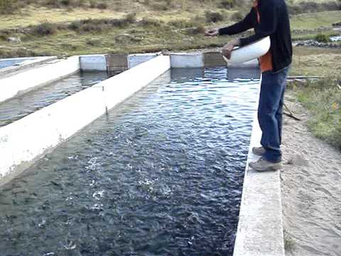 Emprendedores exitosos manual de crianza trucha for Como criar truchas en estanques
