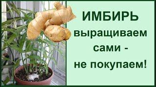 Имбирь домашний выращивание из корня в горшке и в открытом грунте