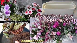 秋の寄せ植え【なでしこ&シクラメン編】🌼🍁Plant Cute Dianthus & Awesome Cyclamen!!
