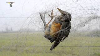 Нелегальная охота на птиц в Китае
