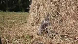 Miniature Schnauzer Hunting