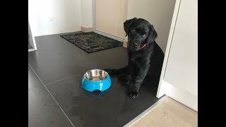 Ylvis Labrador Eating oatmeal porridge. LOVE  ★ LABRADORS ARE AWESOME