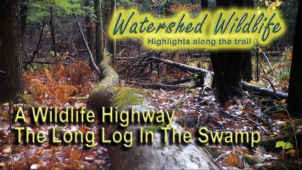 A Wildlife Highway.  The Long Log in The Swamp