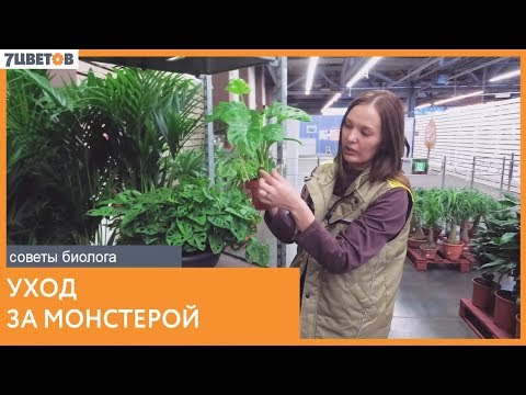 Монстера. Уход за растением | Рекомендации биолога 7ЦВЕТОВ