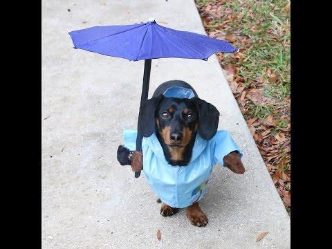 Crusoe the Dachshund Having Fun in the Rain!