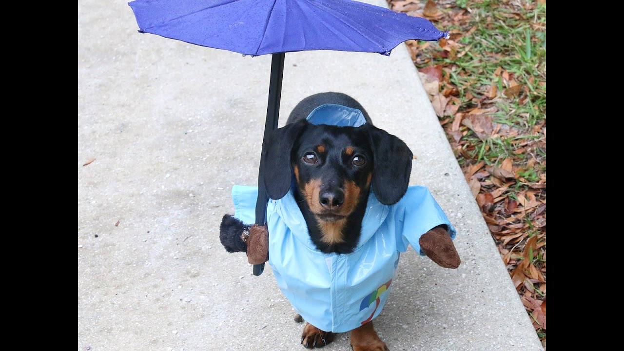55cba24e4dd Crusoe the Dachshund Having Fun in the Rain! - YouTube