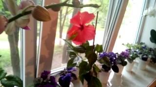 видео В Никитском ботаническом саду расцвел гибискус