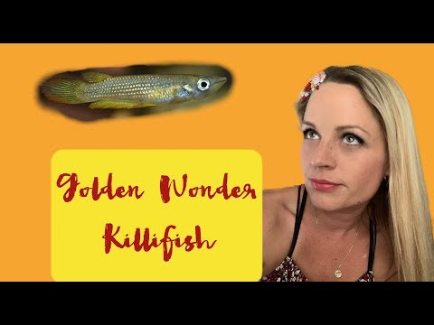 I Got A Golden Wonder Killifish!