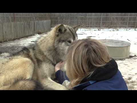 Layne Petting Wolves Youtube