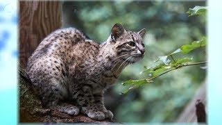 В Новосибирский зоопарк из Чехии привезли самку кошки Жоффруа и самца яванского лангура